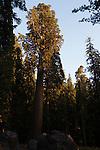 Giant Sequoia (Sequoiadendron giganteum) tree, Sierra Nevada, Sequoia National Park, California