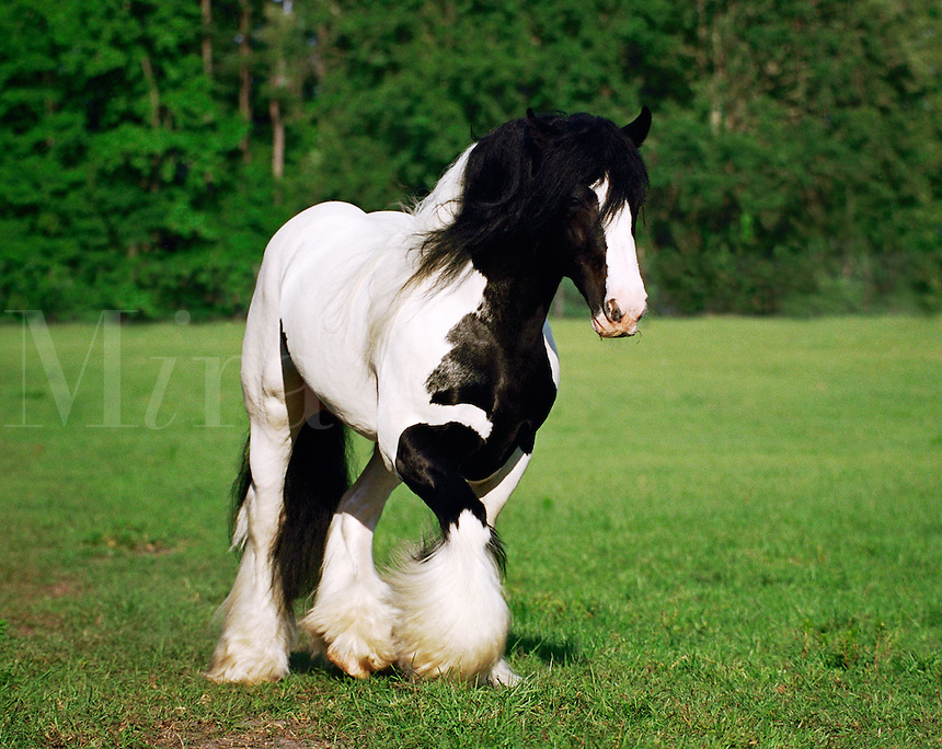 Gypsy Vanner Horse stallion.