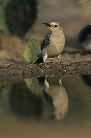 Golden-fronted Woodpecker, Melanerpes aurifrons, female drinking, Willacy County, Rio Grande Valley, Texas, USA