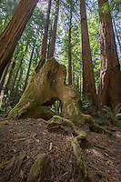 Redwoods, Muir Woods National Monument
