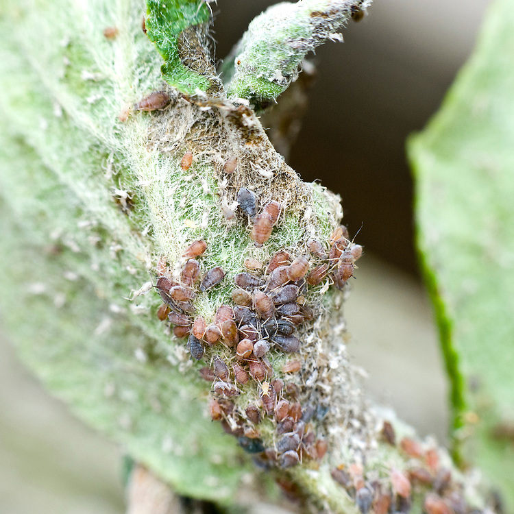 Rosy apple aphid infestation on leaves and young shoots of apple tree, end June.