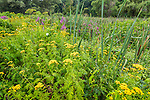 Wildflowers in the meadow at the Arnold Arboretum, Boston, Massachusetts, USA