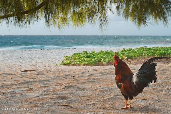 Barbados - Cockerel posing under a casuarina tree - Foul Bay early morning