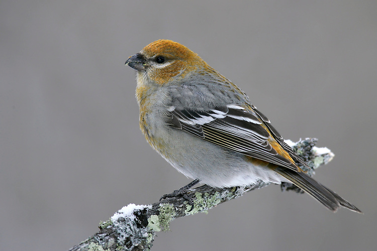 Pine Grosbeak - Pinicola enucleator - female