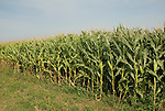 Minnesota agriculture: corn and soybeans are the two main crops of Southern Minnesota.  Corn growing in field..Photo mnqual327-75079..Photo copyright Lee Foster, www.fostertravel.com, 510-549-2202, lee@fostertravel.com.