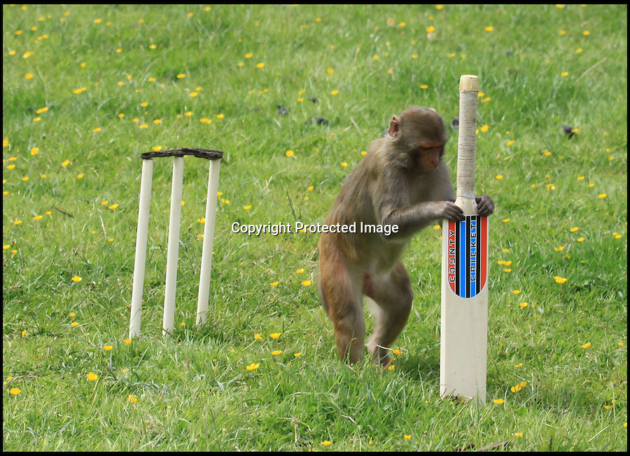 BNPS.co.uk (01202 558833)<br /> Pic: IanTurner/BNPS<br /> <br /> Unorthodox defence...<br /> <br /> Lets hope the umpiring of this summers Ashes is a little better than was displayed by the infamous Longleat monkeys yesterday as they prepared for the upcoming battle with a little bit of Ape Ashes.<br /> <br /> Despite managing to set up the stumps the perplexed primates were soon clean bowled - but at least it gave visitors to the Wiltshire attraction some respite from the usual mayhem the parks Rhesus Macaques dish out to their cars.