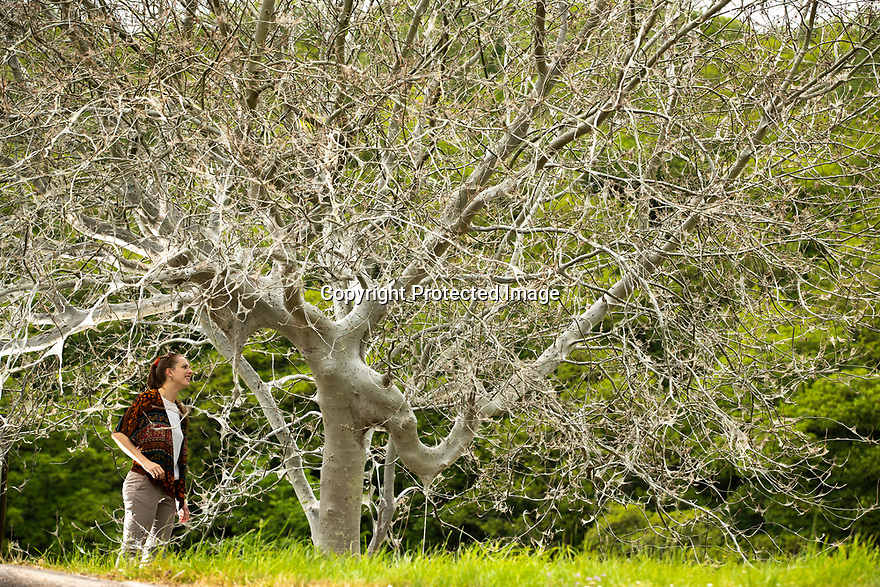 31/05/17<br /> <br /> Chloé Kirkpatrick, 26, examines the creepy looking webs.<br /> <br /> A tree is cocooned in webs made by hundreds of thousands of ermine moth caterpillars. The bizarre silky phenomena, that looks like spiders' webs is made by the caterpillars to protect them from birds. It has covered a single cherry tree, beside the A6 in  Whatstandwell near Belper in the Derbyshire Dales. <br /> <br /> All Rights Reserved, F Stop Press Ltd +44 (0)7765 242650 www.fstoppress.com rod@fstoppress.com