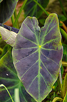 A close-up of a taro (kalo) leaf, Hamakua, Big Island.