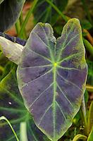 A close-up of a taro (kalo) leaf, Hamakua, Big Island.