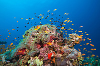 Twobar Anemonefish in Coral Reef, Amphiprion bicinctus, Shaab Rumi, Sudan, Red Sea, Indian Ocean