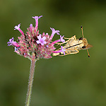 Tiny Butterfly, Skipper, On Brazilian Verbena,  Family Hesperiidae