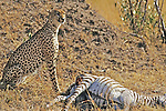 Cheetah Nest To Kill (Zebra)