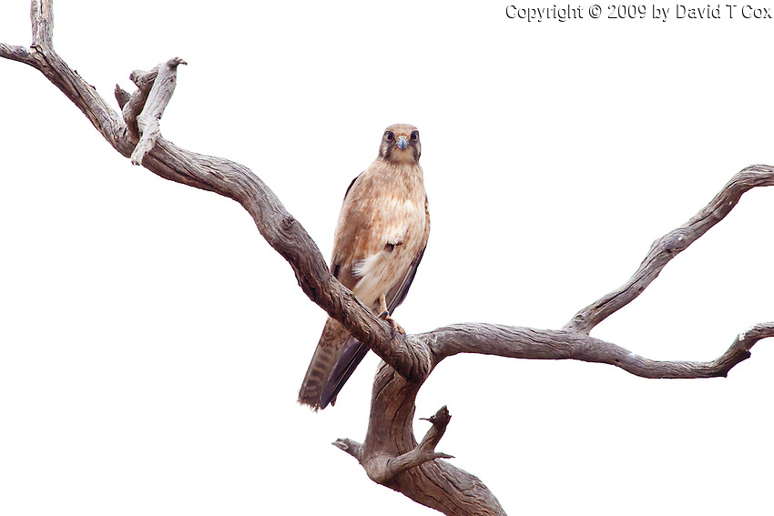 Brown Falcon, near Menindee, NSW, Australia
