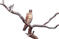 Brown Falcon, near Menindee, NSW, Australia