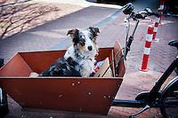 Nederland, Amsterdam, 22 april 2013<br />  Westelijke Eilanden, Vierwindenstraat.  Hond in de bak van een bakfiets<br /> Foto(c): Michiel Wijnbergh