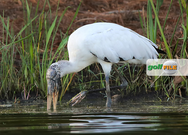 151119  A giant wood stork enjoying a feast during Thursday's First Round of The CME LPGA Tour Championship at The Tiburon Golf Club, in Naples, Fl.(photo credit : kenneth e. dennis/kendennisphoto.com)