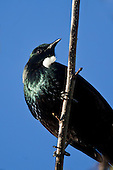 The view from directly under a Tui sitting on a branch showing its white tuft of throat feathers.