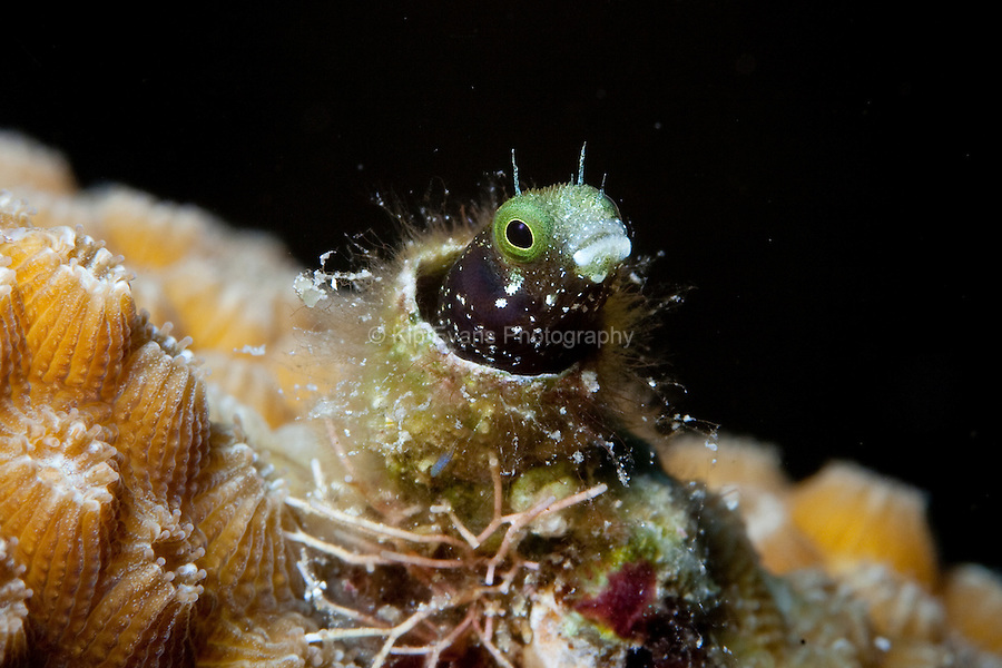 A spinyhead blenny fish (Acanthemblemaria spinosa) peeks out from its tube home underwater at Roatan, part of the Mesoamerican Reef off the coast of Honduras.