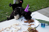 Washington, DC - October 8, 2009 -- At a birthday celebration for the First Family's dog Bo, his brother Cappy eats treats in the Rose Garden of the White House, October 9, 2009..Mandatory Credit: Pete Souza - White House via CNP