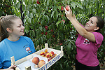Foto: VidiPhoto<br /> <br /> TIEL &ndash; Vakantiewerkers van het fruitteeltbedrijf Oike van Arie en Dorien van Ojen oogsten maandag voor Nederland exotische vruchten: perziken, abrikozen en nectarines. Het fruitbedrijf op de grens van Zoelen en Tiel heeft zich als een van de weinig fruittelers in Nederland naast doorsnee fruit als appels, pruimen en kersen, gespecialiseerd in exotische vruchten. Het telen van deze vruchten in Nederland is commercieel weinig interessant, vanwege de import van goedkoper fruit uit Zuid-Europa. Toch neemt de belangstelling van consumenten voor het Nederlandse product vanwege een betere voedselveiligheid ook toe als het gaat om deze uitheemse steenfruitsoort. Bovendien hangen de bomen bij Van Ojen dit jaar bomvol met vruchten en dat is bijzonder omdat grote delen van het Nederlandse fruit grote schade heeft geleden door de nachtvorst dit voorjaar. Het fruitbedrijf van Van Ojen heeft dat weten te voorkomen door &rsquo;s nachts gebruik te maken van vuurpotten en vuurtonnen in combinatie met ventilatoren. Vrijwel alle perziken, abrikozen en nectarines worden verkocht via het eigen fruitstalletje in Tiel.