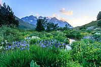 France, Hautes-Alpes (05), Villar-d'Arène, jardin alpin du Lautaret, coucher de soleil sur les plantes de Sibérie (Iris siberica...) devant et Pyrénées derrière et le massif de la Meije en fond