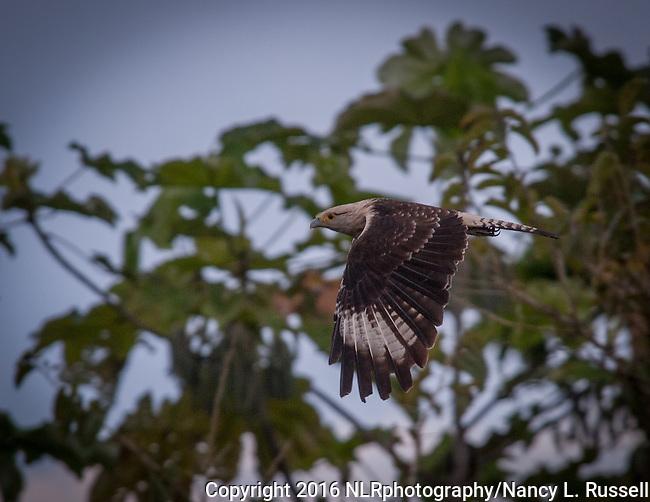 A yellow-headed caracara in flight in the Amazon in Pru