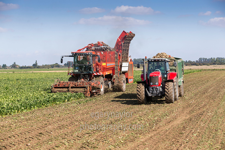 Harvesting sugar beet with a Holmer Terra Dos T3 - Lincolnshire, September