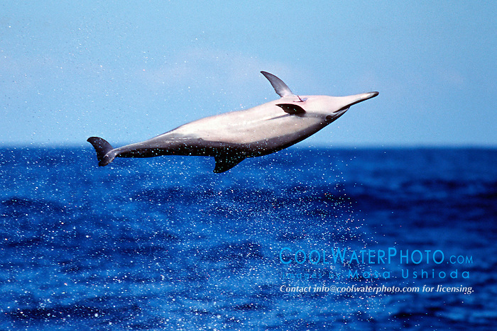 spinner dolphin leaping, .Stenella longirostris, note remora .on chest, Kona, Big Island, Hawaii (Pacific)