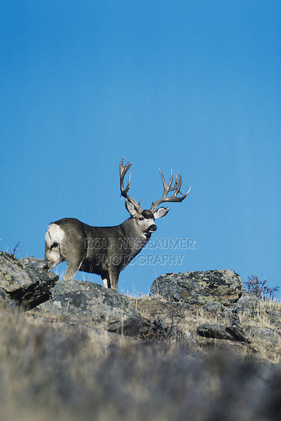 Mule Deer, Black-tailed Deer (Odocoileus hemionus), adult on rock ledge, Rocky Mountain National Park, Colorado, USA