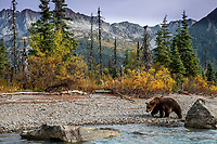 Grizzly bear at Crescent Lake. Lake Clark National Park. Fall/autumn  Southcentral, Alaska<br /> <br /> Photo by Jeff Schultz/SchultzPhoto.com  (C) 2018  ALL RIGHTS RESERVED<br /> <br /> 2018 Bears, Glaciers and Fall Colors Photo tour/workshop