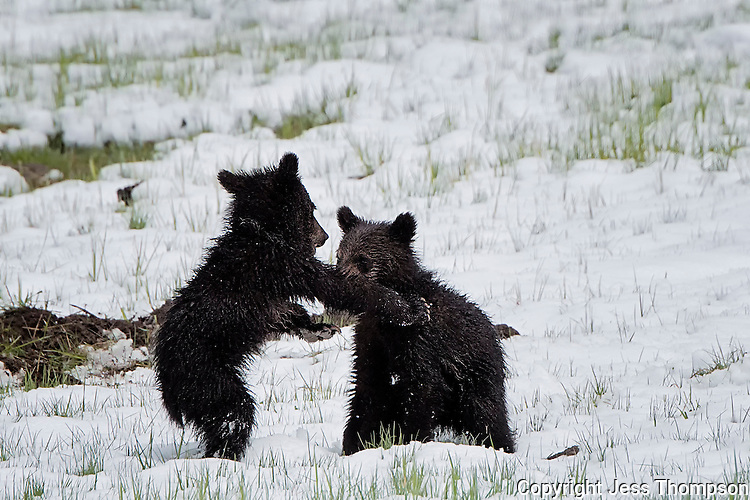 Grizzly Cubs fighting, Yellowstone National Park