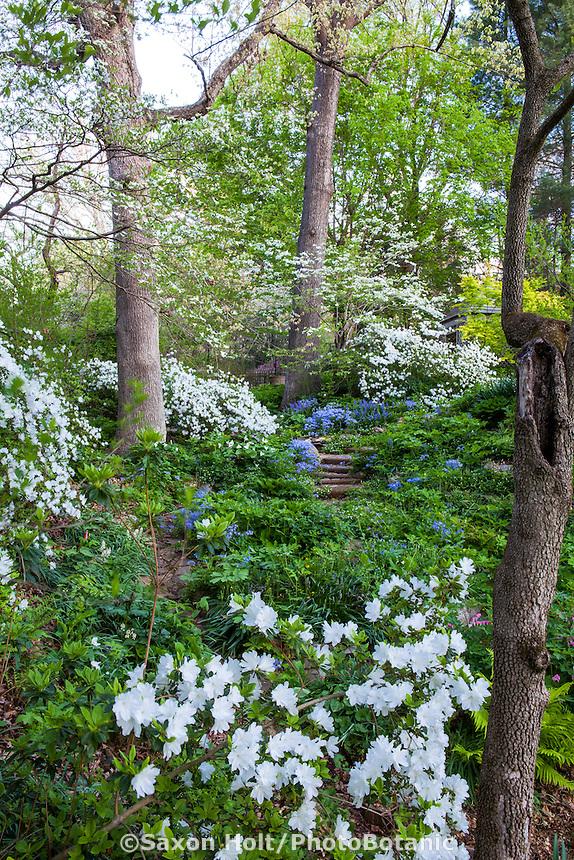 Spring woodland garden with Oak trees and white flowering 'Snow' azalea, Boninti Garden, Virginia
