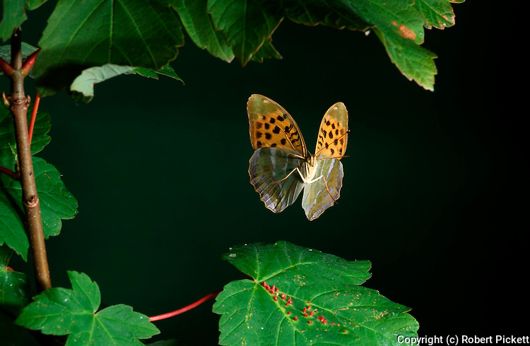 Silver washed Fritillary Butterfly, Argynnis paphia, adult in free flight, flying through leaves of tree, high speed photographic technique.United Kingdom....