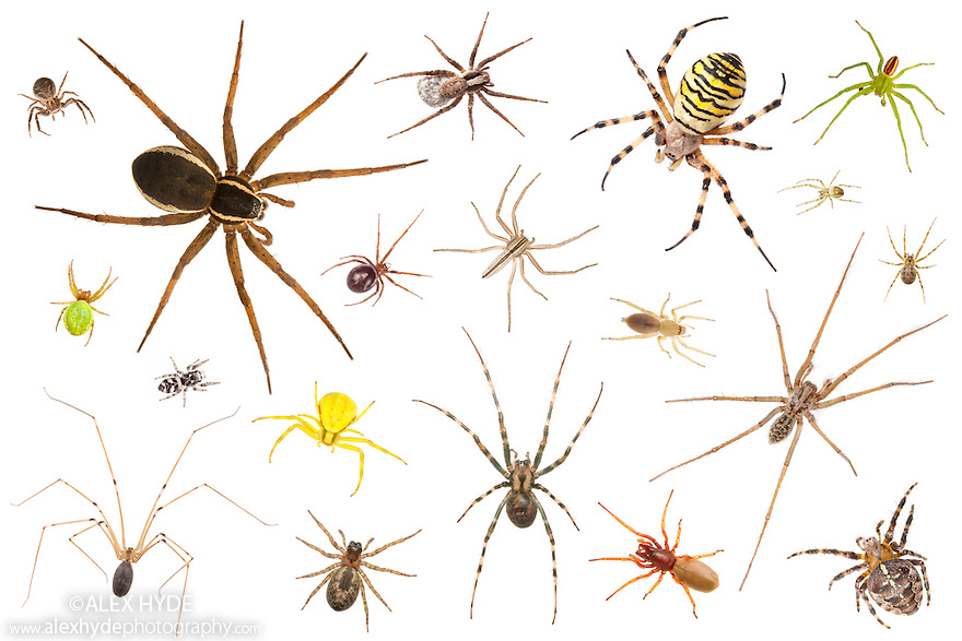 Selection of UK spider species photographed on a white background. Digital composite.