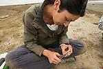 Snowy Plover (Charadrius nivosus) biologist, Karine Tokatlian, banding chick, Eden Landing Ecological Reserve, Union City, Bay Area, California