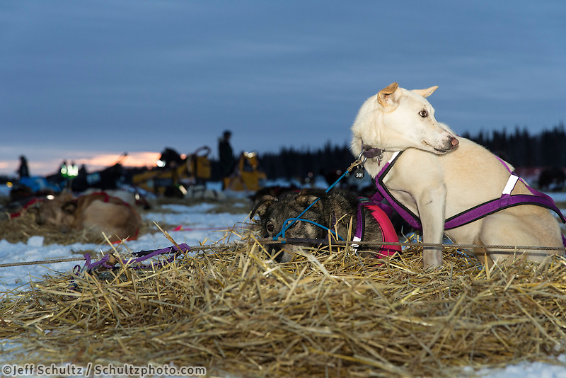 Aaron Peck dogs rest at sunrise at the Finger Lake checkpoint Monday, March 4, 2013.