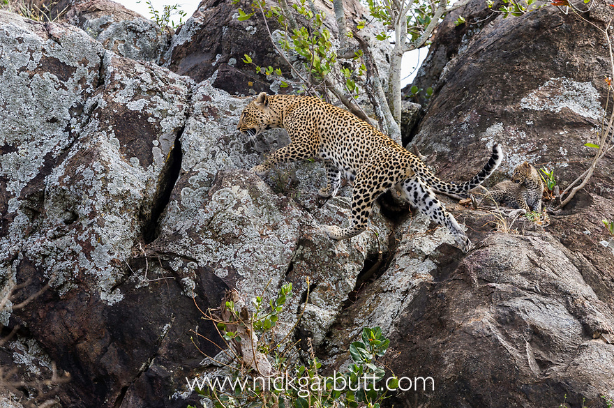 Female Leopard (Panthera pardus) with young cubs climbing over rocks / kopje. Near its den / lair. Serengeti National Park, Tanzania. April 2015