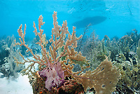 Purple sea fan, Gorgonia ventalina, Bonaire, Caribbean Netherlands, Caribbean
