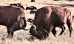 Two bison butting heads in Custer State Park, South Dakota
