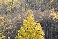 Aspen, near Kebler Pass