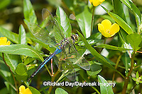 06361-005.18 Common Green Darner (Anax junius) male in wetland, Ballard Nature Center, Effingham Co. IL