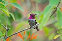 Male Anna's Hummingbird (Calypte anna)