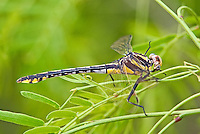 334070019 a wild female plains clubtail dragonfly gomphus externus perches on a mesquite branch at southeast regional park austin texas united states