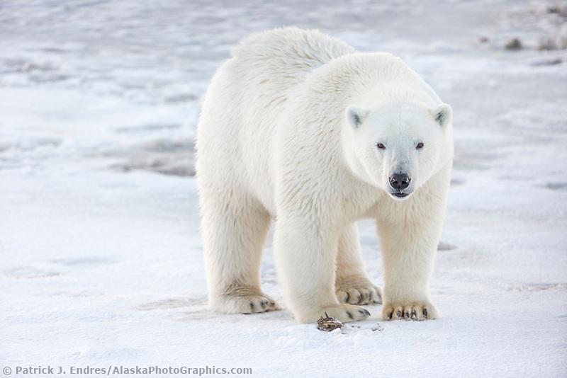 Female bear walks on the ice forming on the Beaufort Sea, Arctic, Alaska.