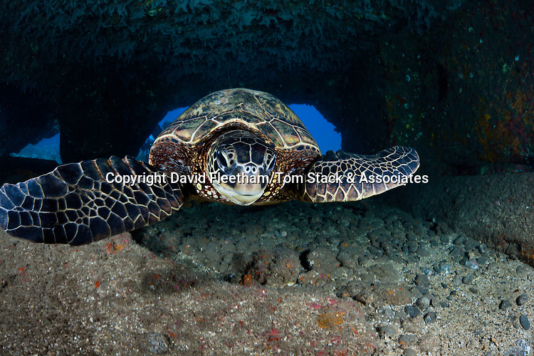 A green sea turtle, Chelonia mydas, an endangered species, makes it's way through a tunnel created by huge concrete slabs from the collapsed Mala Wharf, off Lahaina, Maui, Hawaii.