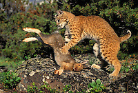 Bobcat and snowshoe hare. Predator/prey. Summer. Rocky Mountains. North America. (Felis rufus).