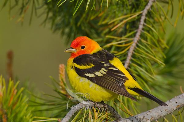 Male Western Tanager (Piranga ludoviciana).  Western U.S., Spring.