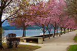Blossoming pink trees line the waters edge in the Coeur D Alene City Park, Idaho