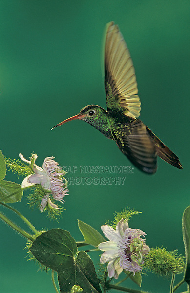 Buff-bellied Hummingbird, Amazilia yucatanenensis, adult feeding on Passionflower (Passiflora incarnata), Cameron County, Rio Grande Valley, Texas, USA