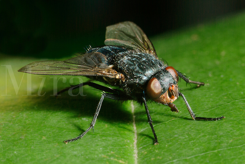 Bluebottle Fly, Calliphora sp., insect.